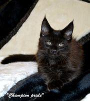 """"""" Агрей"""" и """"Пегас"""" восхитительные и обворожительные котята Мейн-кун!"""