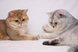 Британский котик на вязку, для вислоушек и прямоушек!