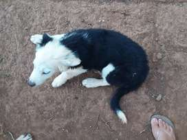 Young female border collie