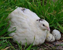 Яйцо перепелиное инкубационное, суточный перепел.