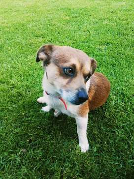 MALE JACK RUSSELL X FOR SALE