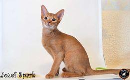 Абиссинский котенок - рыжий огонек.