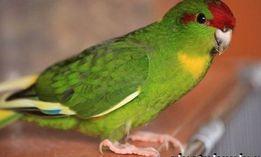 Молоденькие новозеландские попугаи какарики.