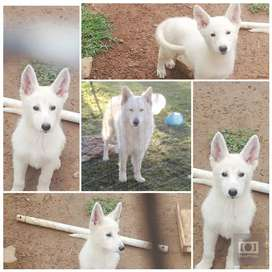 Pure bred White Swiss shepherd puppies vaccinated and dewormed