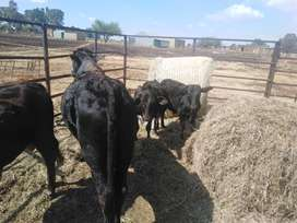 Meat bulls for sale
