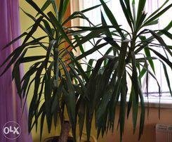 Пальма Юкка большая, взрослая