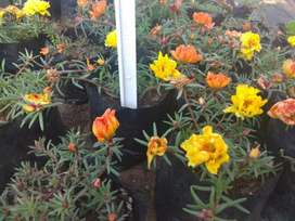 Beautiful waterwise portulaca plants in 1l bags