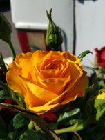 Продаю саженцы роз оптомЛЕТОМ -Осенью- Весной кусты роз большой ассор