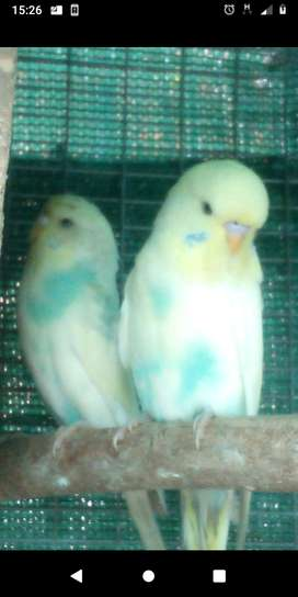 Show budgies for sale