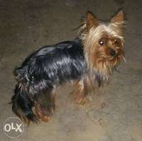 Image of yorkie tea cup male