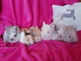 Malutkie Karzełki Królik króliki miniaturki miniaturka