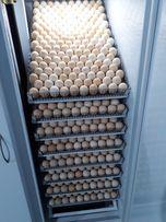 Суточные цыплята бройлера. Инкубатор.