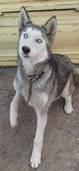 Pure bred Siberian Husky, female dog