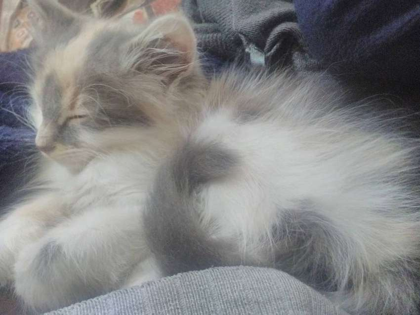 Maincoon kittens 0