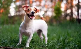 Looking for a Jack Russell puppy!