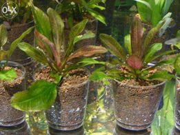 GB żabienica (echinadorus osiris)roślina akwariowa