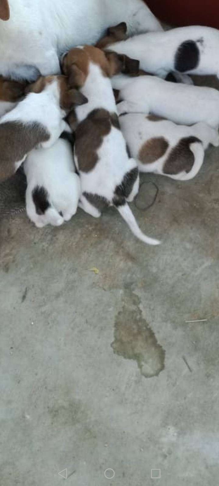 Pure breed short leg Jack Russell puppies 8weeks old dewormed and vacc 0