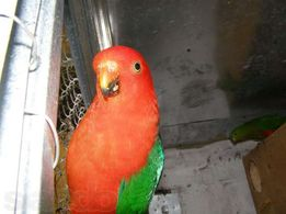 Королевский попугай в наличии молодняк и взрослые пары!!!