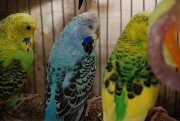 Выставочный премиум волнистый попугай или Чех