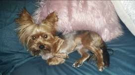 Pedigree Trad Male Yorkie for sale