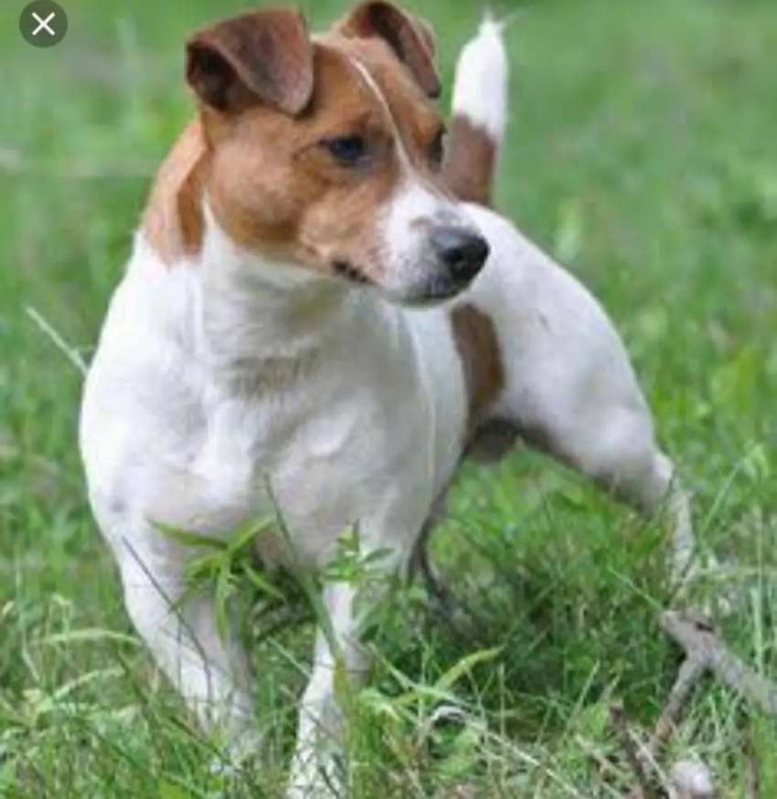 WANTED short legged jack russell female(under 1500 0