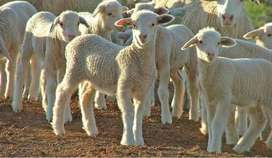 Looking for lambs to buy !