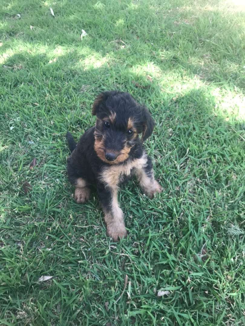 HEALTHY AIREDALE PUPPIES for sale in CRADOCK, Eastern Cape... 0