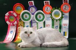 Британский кот серебристая шиншилла, Импорт Германия, титул-GICH-вязки