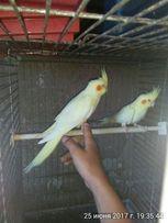 Корелла птенчики