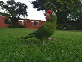 Urgent sale. Amazon parrot and cage