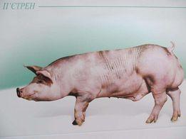 Штучне запліднення свиней. Кормові добавки та комбікорма.