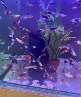 Gorgeous Guppies for sale