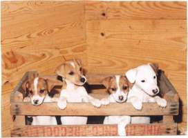 jack Russell puppies for sale tan and white