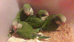 Птенчики квакеры