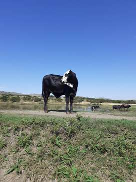3 cows are on sale