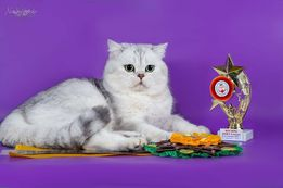 Серебристый шотландский кот