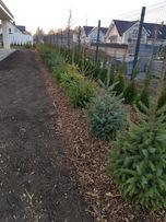 Tuje tuja szmaragdy sadzenie transport kora p9