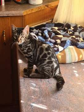 Charcoal bengal boy available