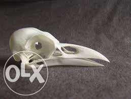 черепа. работа с костями животных