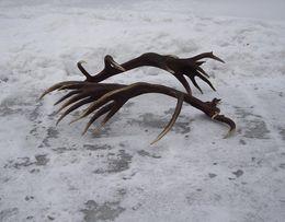 POROŻA, rogi, zrzuty jelenia SKUP