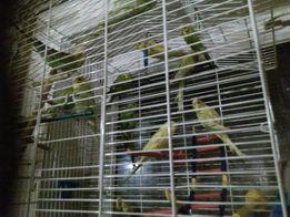 Papuga falista papugi falite klatka