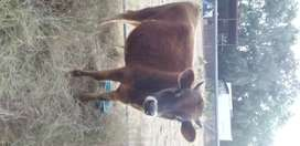 Tame jersey bull for sale
