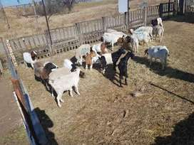 Selling goats and sheep