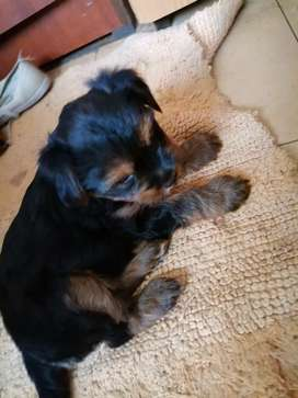 Pure bred Female Yorkies for sale