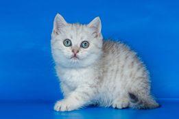 Шотландские прямоухие котята Юнона Янина и Янтарь зеленоглазые