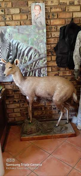 Full mount  Bushbuck Trophy for sale