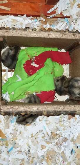 Dwarf Hamsters available