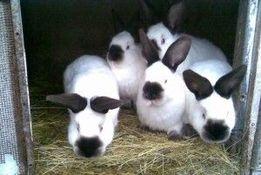 Продам породистых кроликов калифорнийской породы..