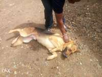 German Shepherd Dog for sale 0