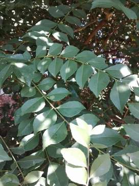 Curry leaves to be Harvested
